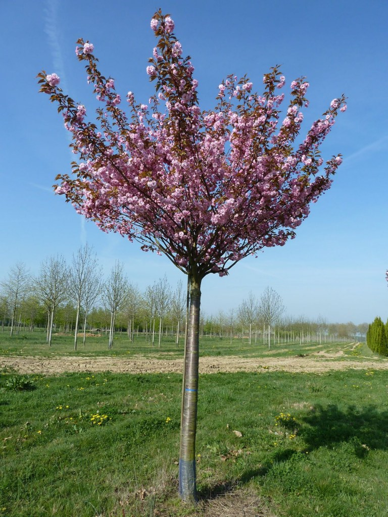 Hauteur Cerisier Du Japon le cerisier à fleurs 'kanzan' - prunus serulata ' kanzan