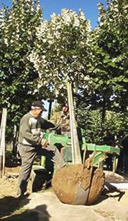 Thuilleaux - Arrachage d'un arbre