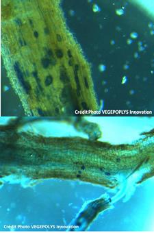 Mycorhization réussie