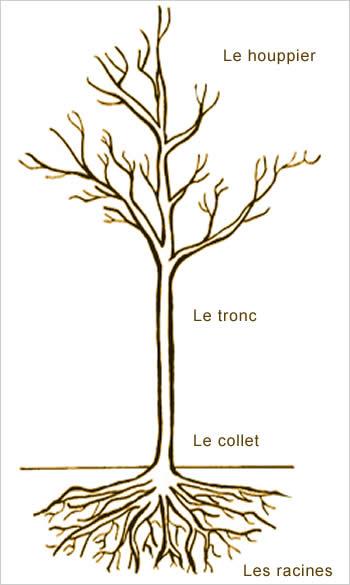 schéma caractéristiques physiques arbre