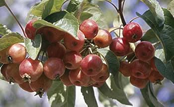 photo caractéristiques botaniques arbre