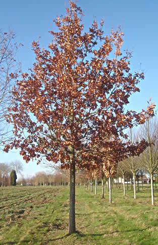 Quercus robur (pedonculata) Chêne pédonculé
