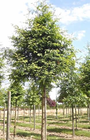 Metasequoia glyptostroboïdes, Metasequoia, forme tige