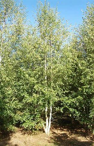 Betula verrucosa alba, Bouleau commun