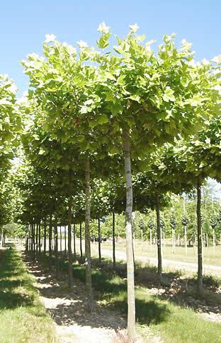Platanus x acerifolia, Platane à feuilles d'érable, plateau d'ombrage