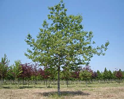 Quercus rubra, Chêne rouge d'Amérique
