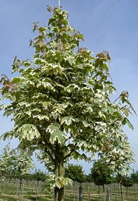 Acer platanoides 'Drummondii'