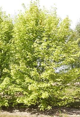 Acer saccharinum 'Pyramidalis'
