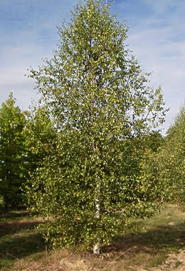 BETULA verrucosa (pendula, alba)