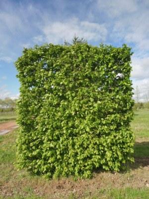 Carpinus betulus palissé ramifié'