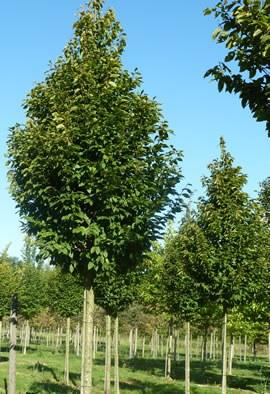 "CARPINUS betulus ""Frans Fontaine"""