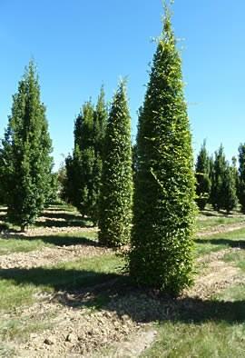 Carpinus betulus colonne