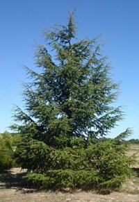 Cèdre vert de l'Atlas