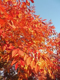 Frêne 'Autumn Applause'