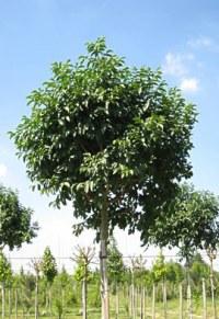 Frêne à fleurs 'Mecsek'