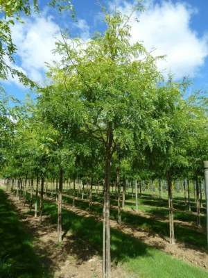 GLEDITSIA triacanthos 'Shademaster'
