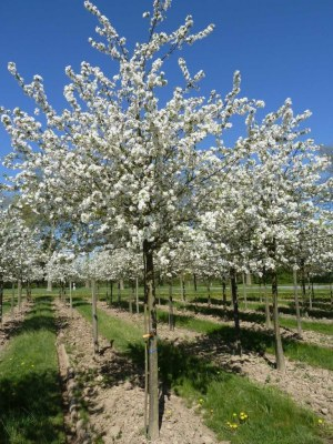 MALUS 'Everest' ® Perpetu