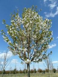 Cerisier à fleurs 'Umineko'