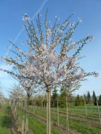 Cerisier Yoshino
