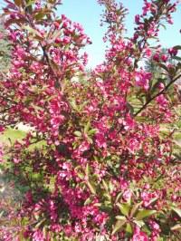 Pommier à fleurs 'Prairie Fire'