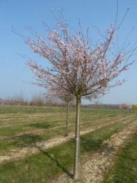 Cerisier à floraison hivernale