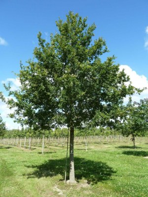 Quercus robur (pedonculata)