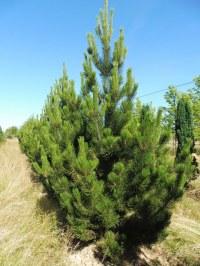 Pinus leucodermis 'Lindenhof'