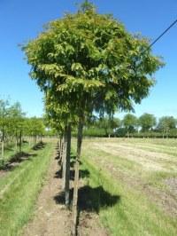 Metasequoia boule 3/4 m.