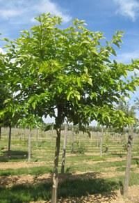 Mûrier à feuilles de platane