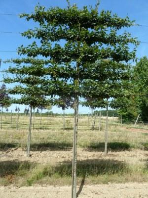 Carpinus betulus palissé tige 5 étages