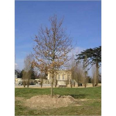 Le chêne de Marie-Antoinette - Versailles - 78- Yvelines
