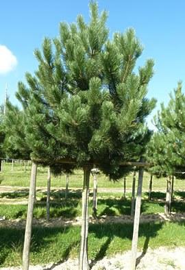 Pinus nigra 'Austriaca' Tige