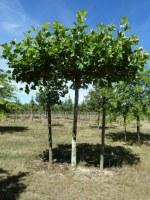 Platanus x acerifolia plateau d'ombrage