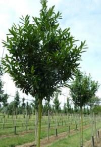 Laurier palme