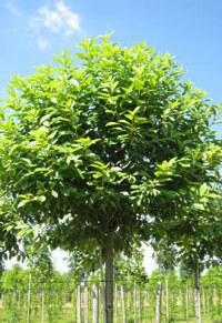Cerisier à grappes boule