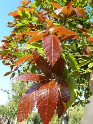 QUERCUS rysophylla 'Maya'