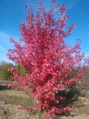 ACER freemani 'Autumn Blaze ® Jeffersred