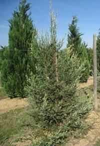 Sequoia 'Adpressa'