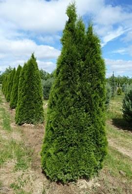 THUJA occidentalis 'Emeraude' ('Smaragd')
