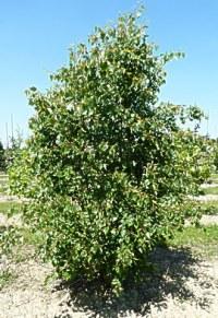 Tilleul à feuilles de vigne